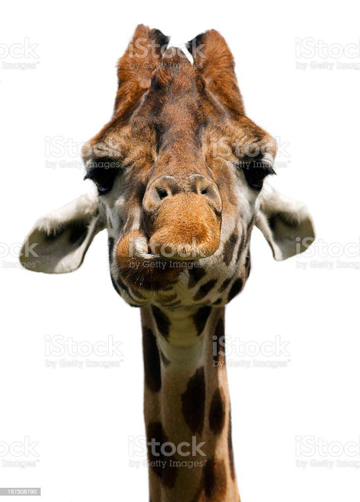 Giraffe (Giraffa camelopardalis) royalty-free stock photo