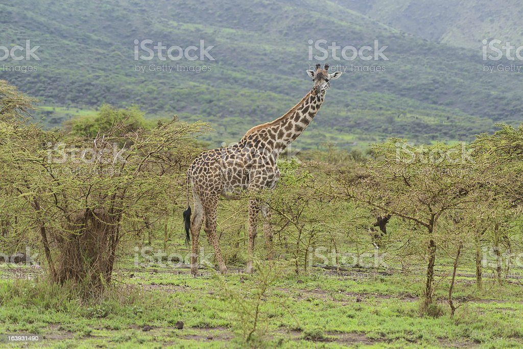 Giraffe royalty-free stock photo