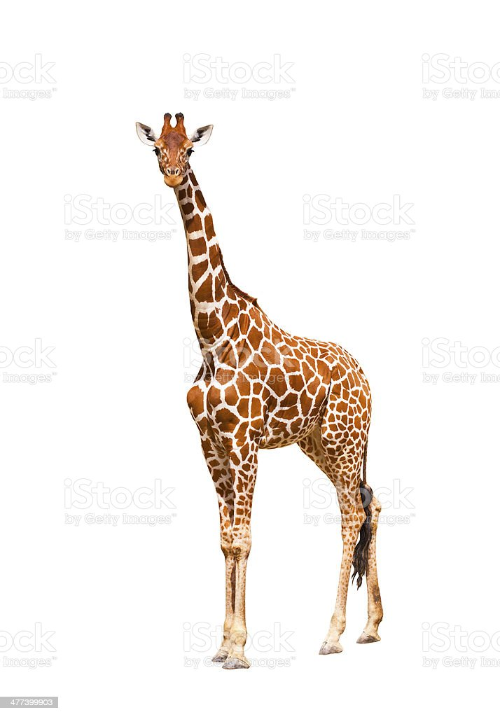 Giraffe (Giraffa camelopardalis) stock photo