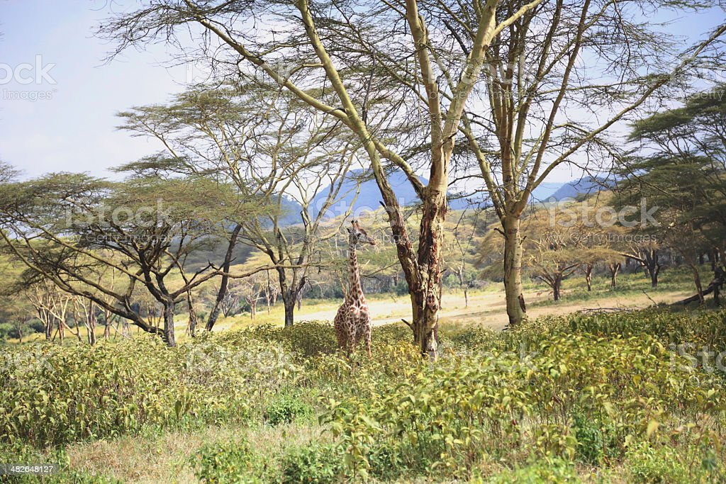 Giraffe (Kenya) royalty-free stock photo