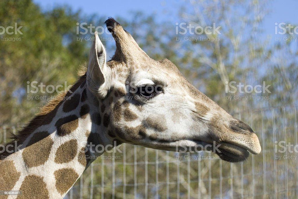 Giraffe royalty-free stock photo