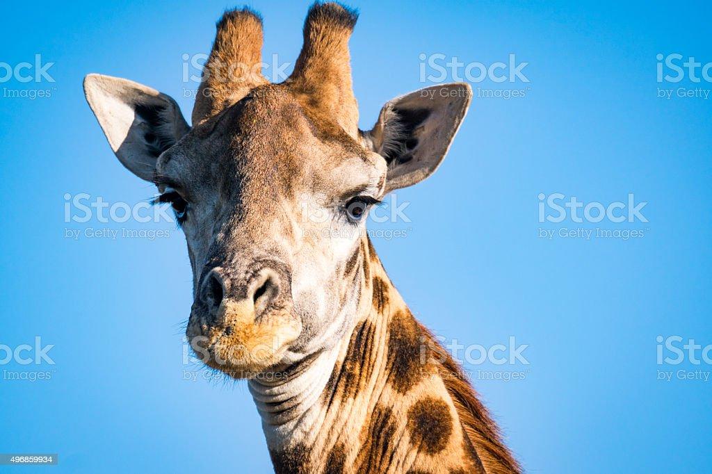 Giraffe portait stock photo