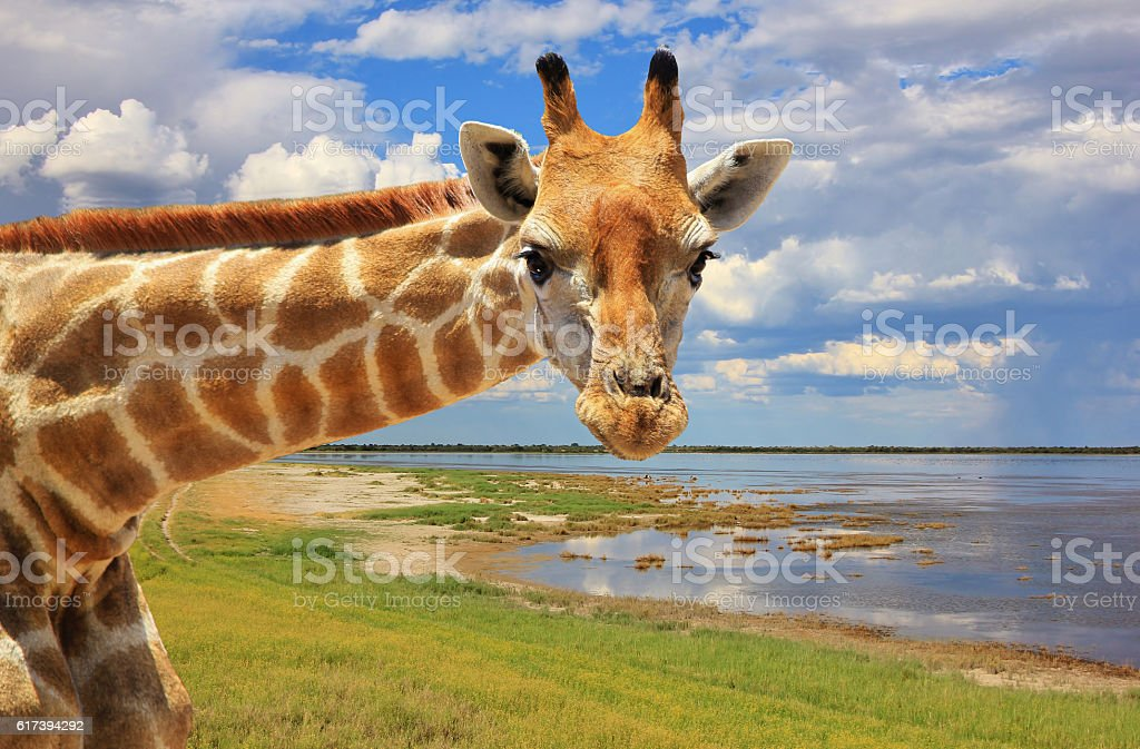 Giraffe Pose - African Wildlife Background - Looking at You stock photo