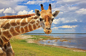 Giraffe Pose - African Wildlife Background - Looking at You