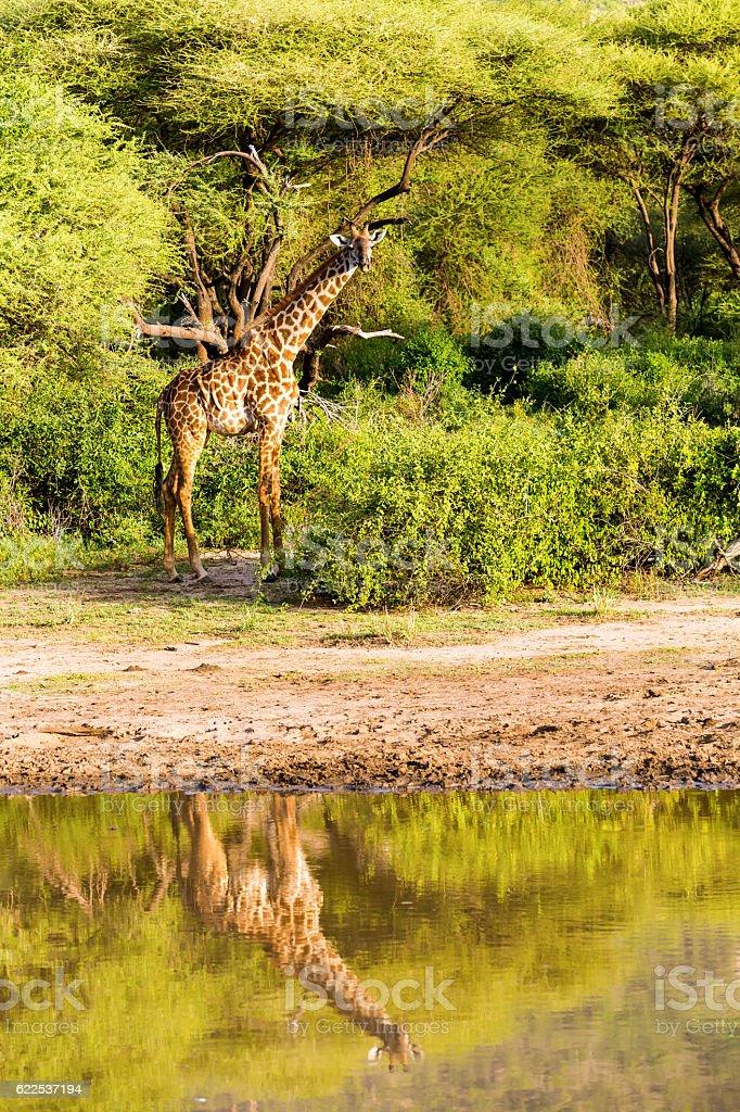 Giraffe: reflection stock photo
