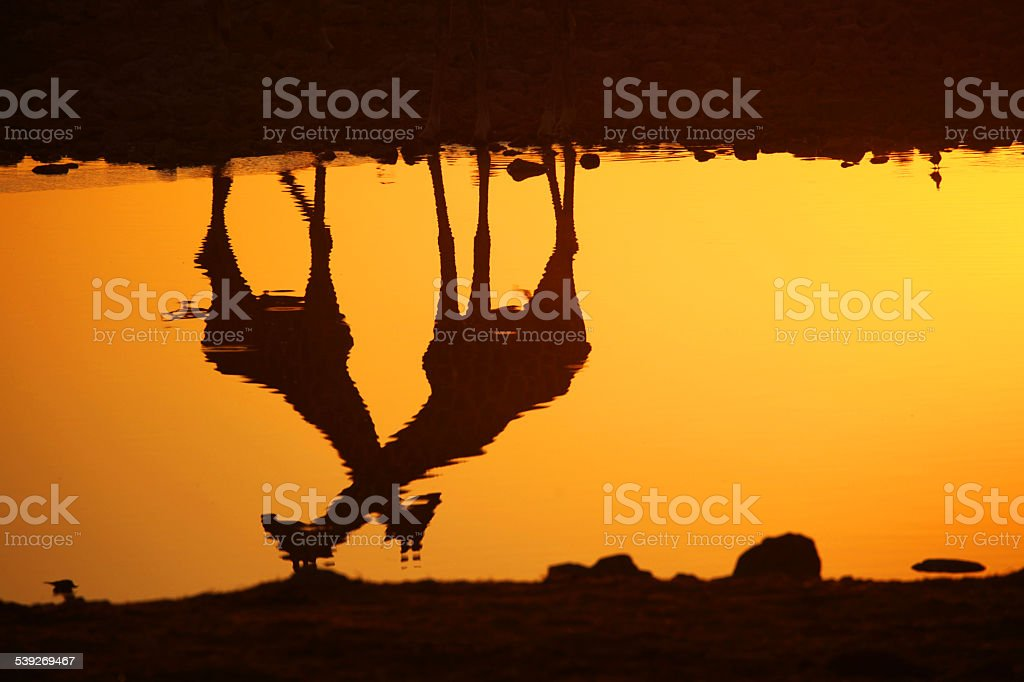 Giraffe Reflections at Sunset, Namibia, Africa stock photo