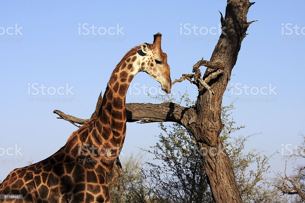 Giraffe scratches itchy nose royalty-free stock photo