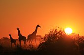 Giraffe Silhouette - African Wildlife Background - Golden Family