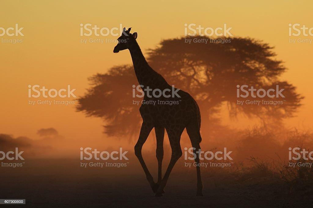 Giraffe Silhouette - African Wildlife Background - Golden Triangles stock photo