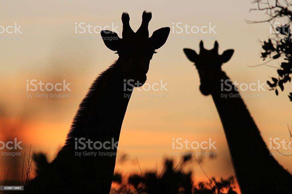 Giraffe Silhouette - Colors in Nature stock photo