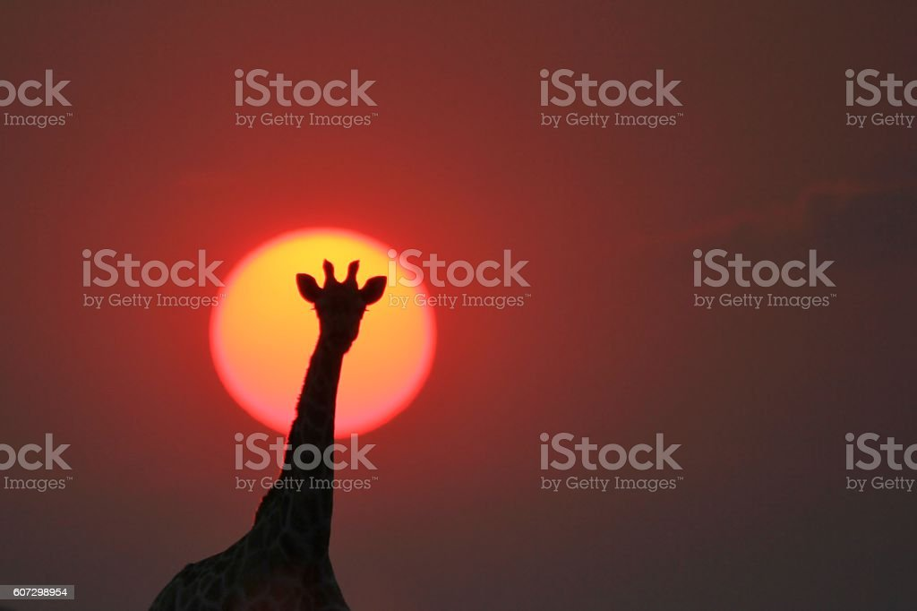 Giraffe Silhouette - Sunset Colors in the Wild stock photo