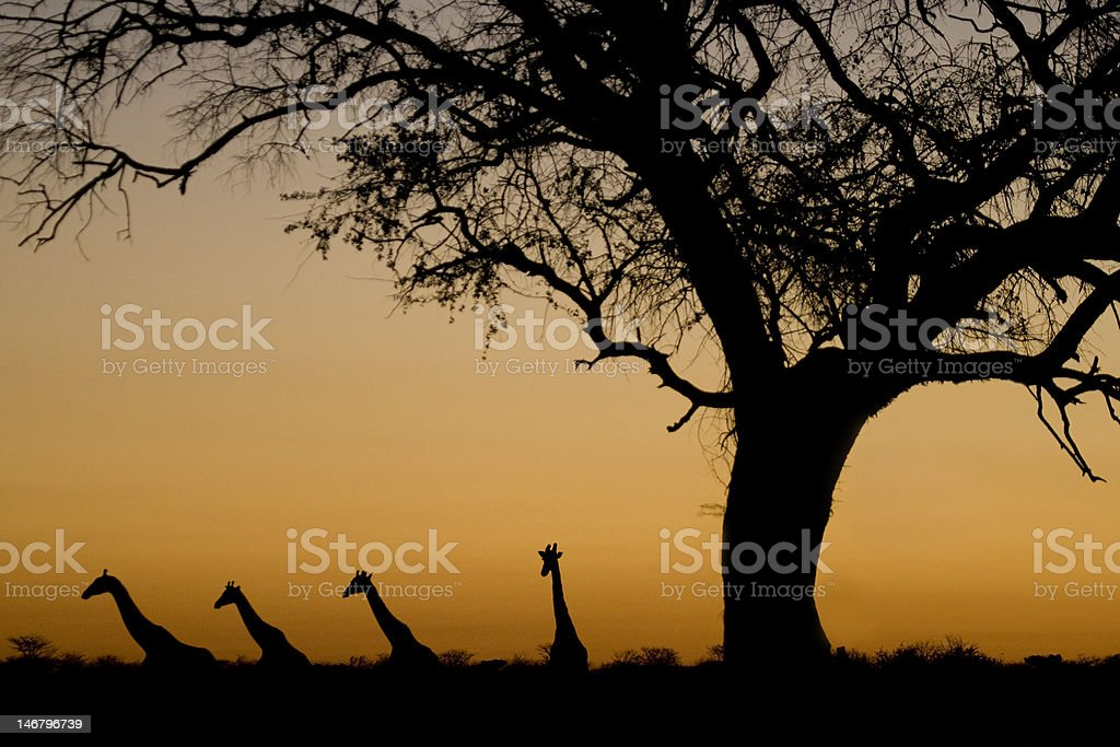 Giraffe silhouettes at sunset. Etosha National Park, Namibia. royalty-free stock photo