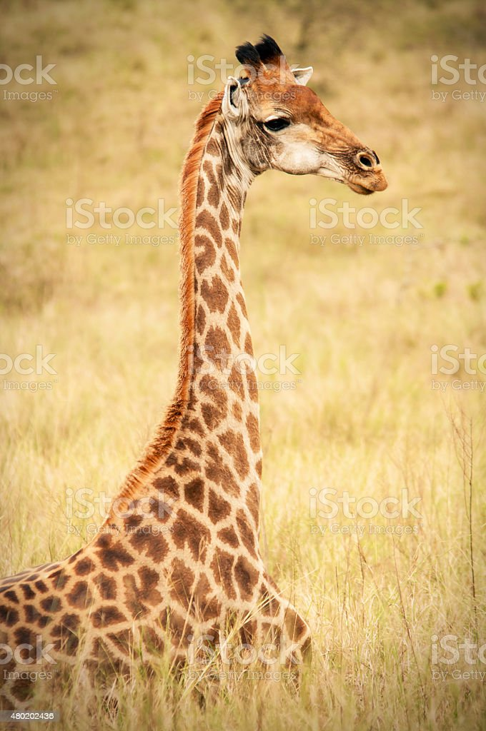 Giraffe Sitting on the Field stock photo