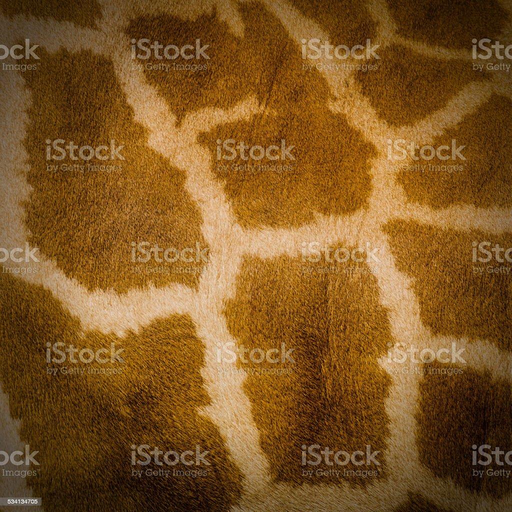 Giraffe skin texture background. stock photo