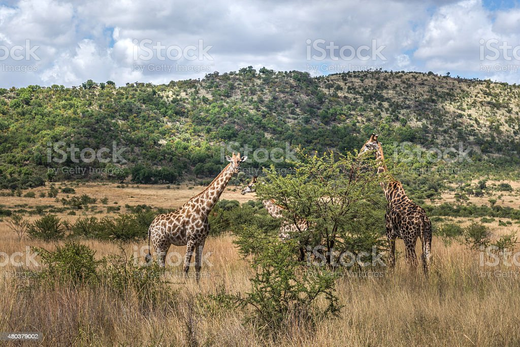 Giraffe. South Africa. March 29, 2015 stock photo