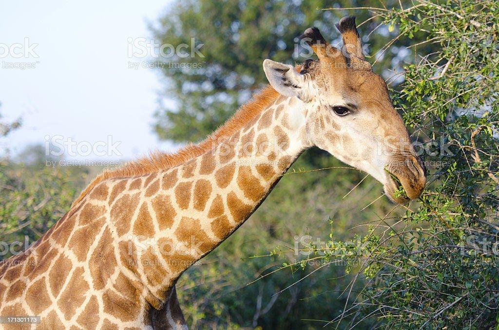 Giraffe - South Africa stock photo