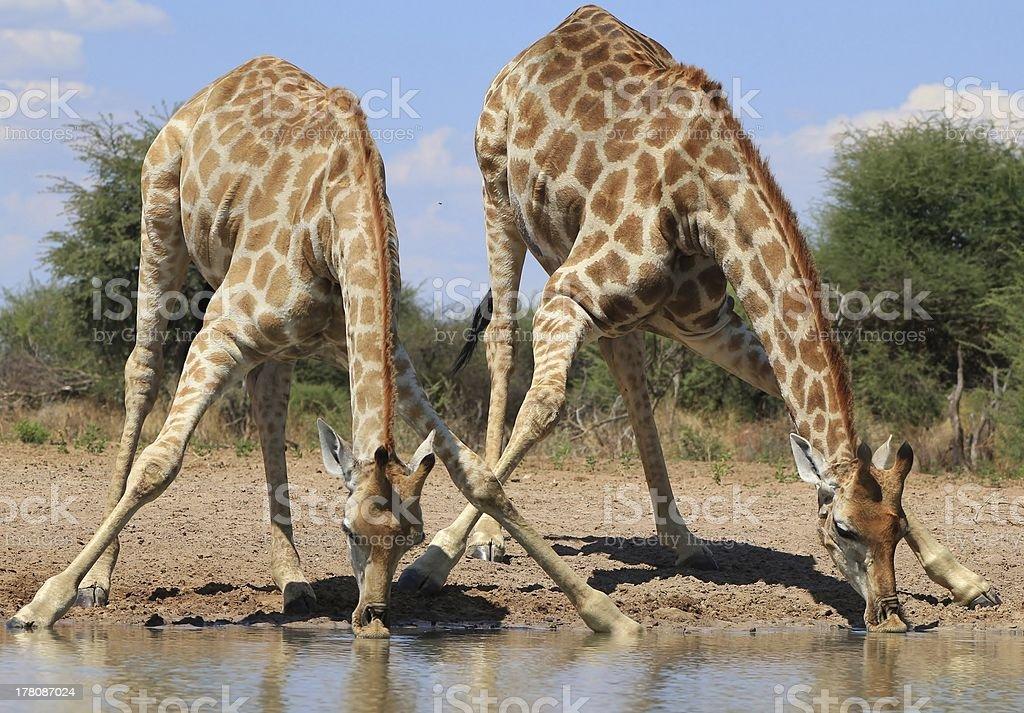 Giraffe Splits for Spits - Africa's Gentle Giant royalty-free stock photo