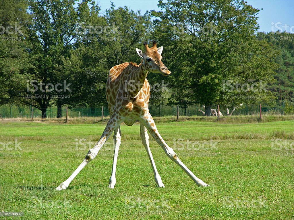 Giraffe spreading legs royalty-free stock photo