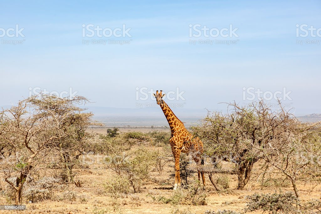 Giraffe standing and watching in the bushes stock photo