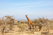 Giraffe standing and watching in the bushes
