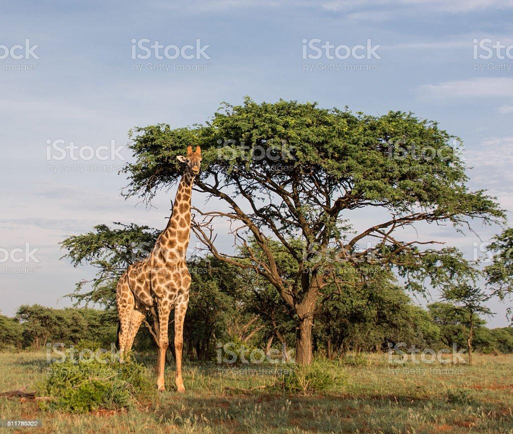 Giraffe standing by tree stock photo