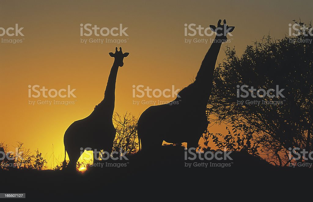 Giraffe standing on hill at sunset South Africa silhouette royalty-free stock photo