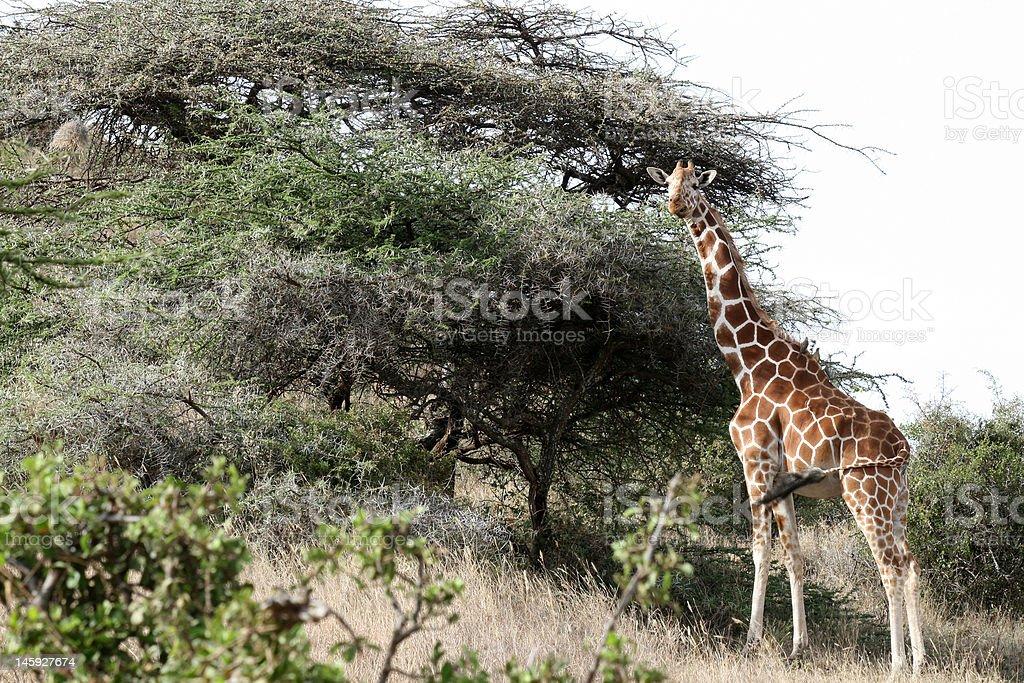 Giraffe Standing Tall royalty-free stock photo