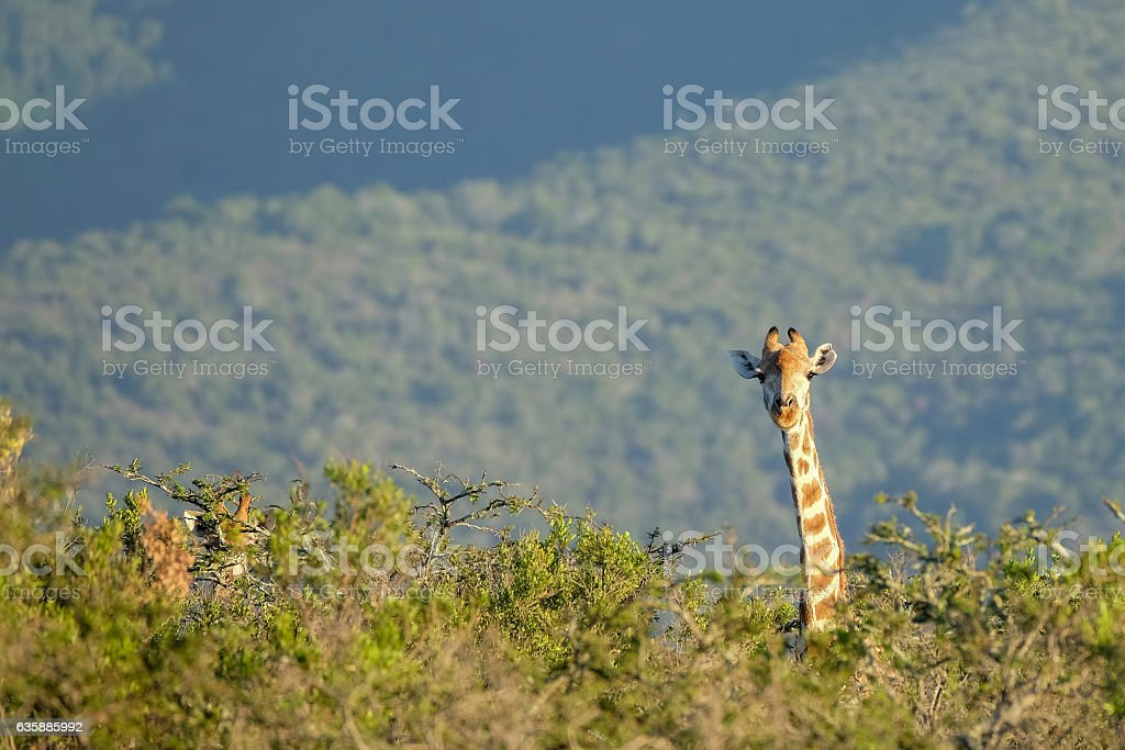 Giraffe sticking its head out stock photo