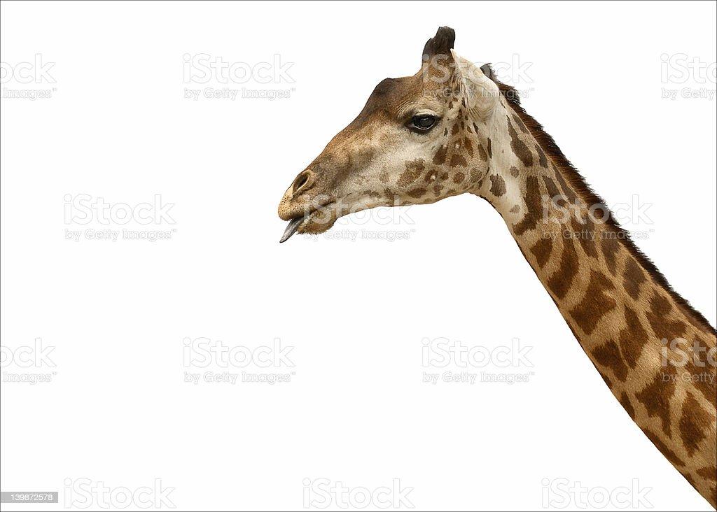 giraffe sticking tongue out stock photo
