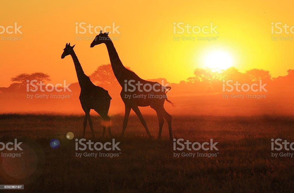 Giraffe Sunset - African Wildlife and Freedom stock photo