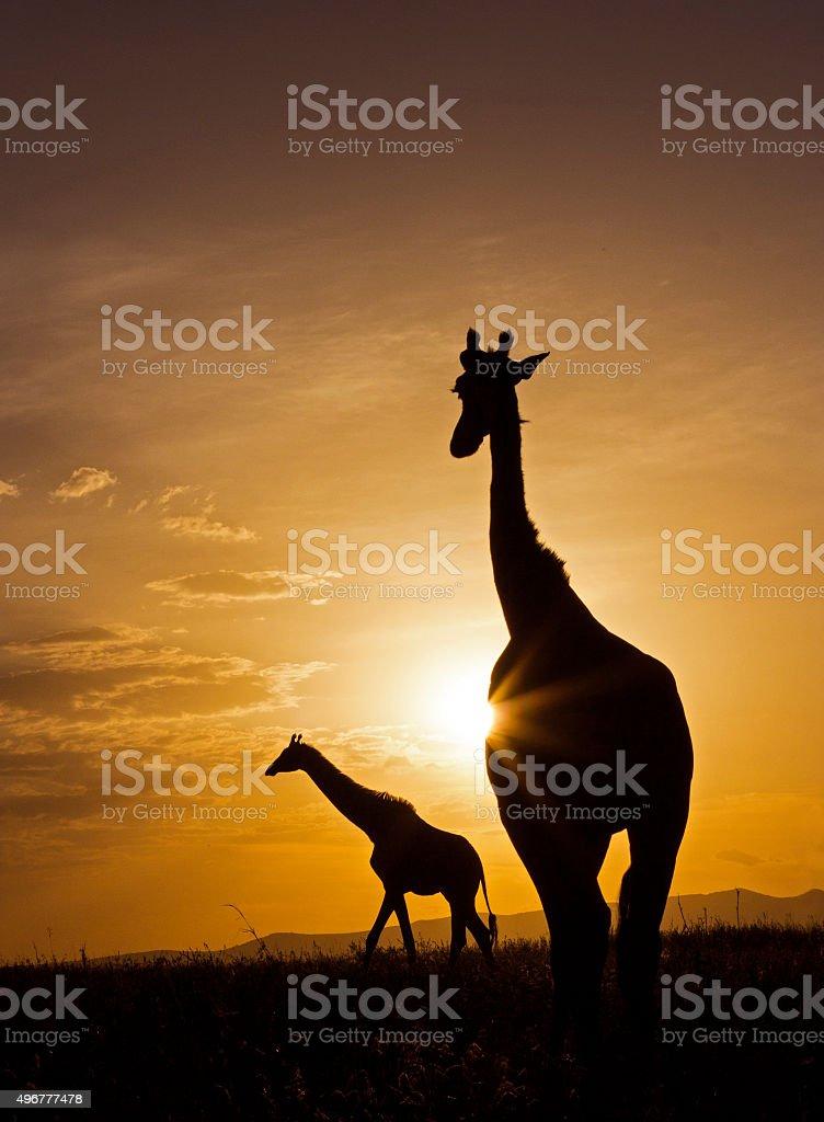 Giraffe sunset stock photo