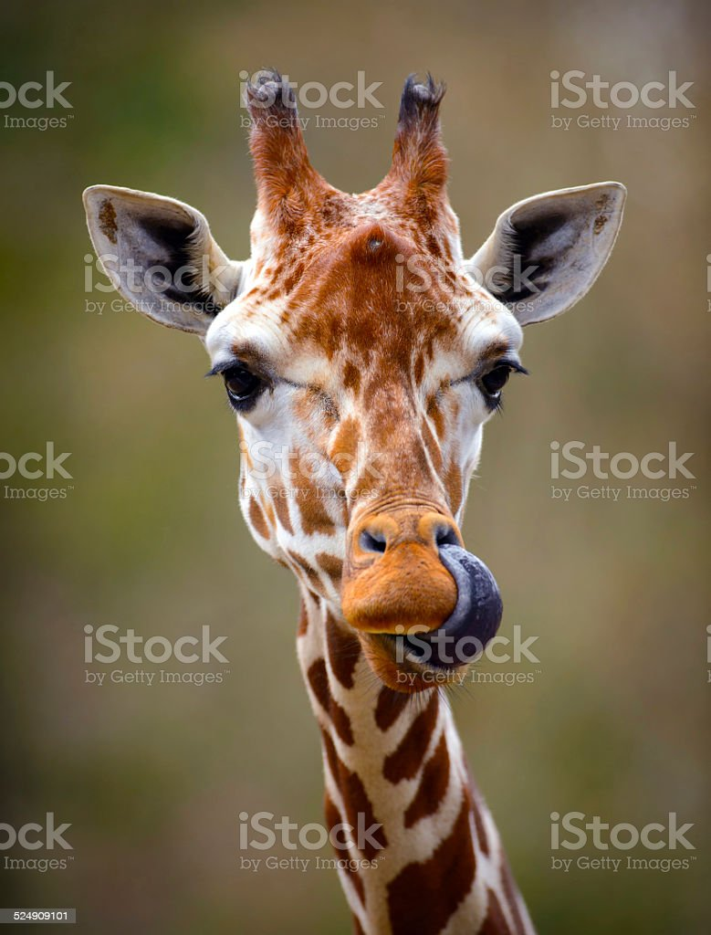Giraffe Tongue Out Portrait stock photo