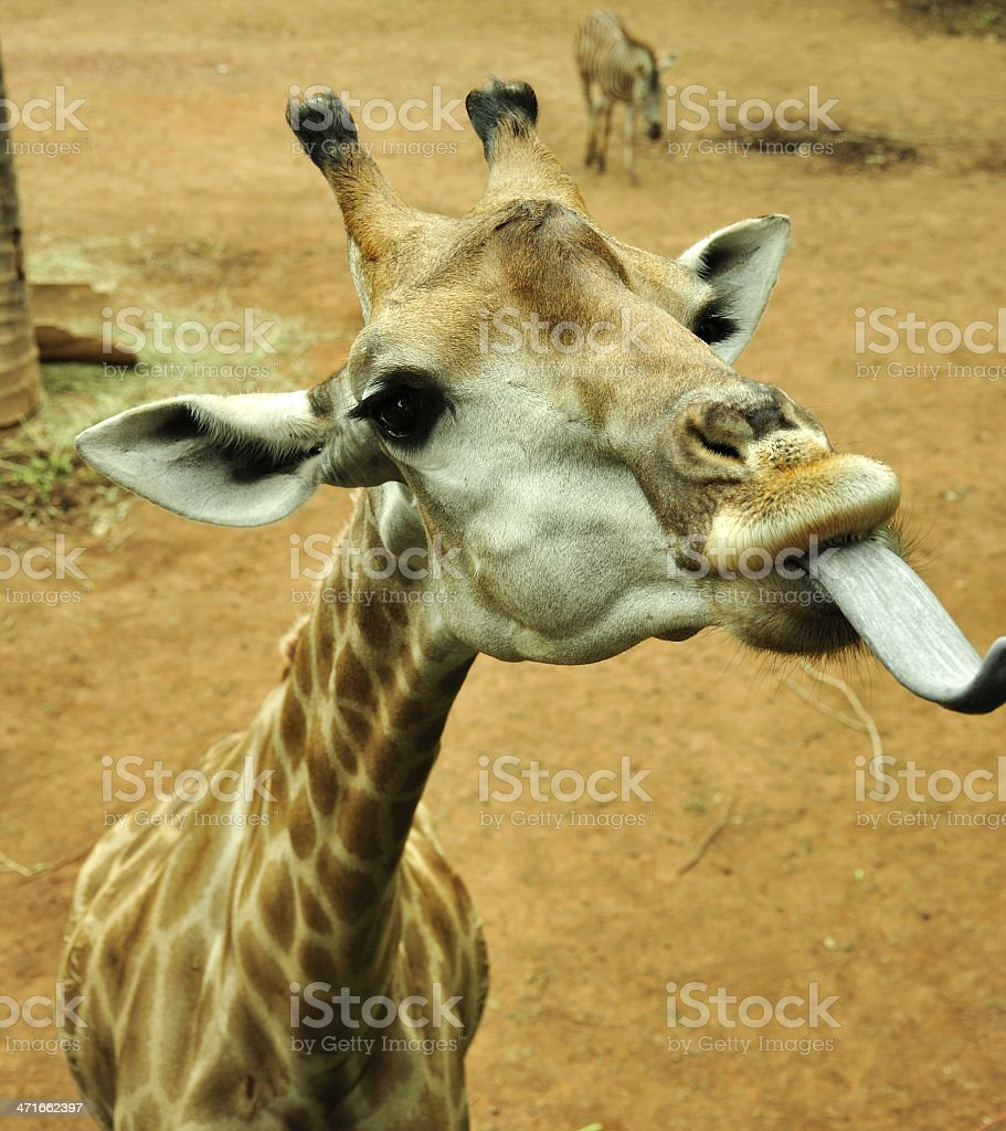 Giraffe tongue out to side royalty-free stock photo