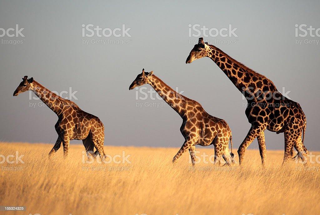 Giraffe trio in sunset light stock photo
