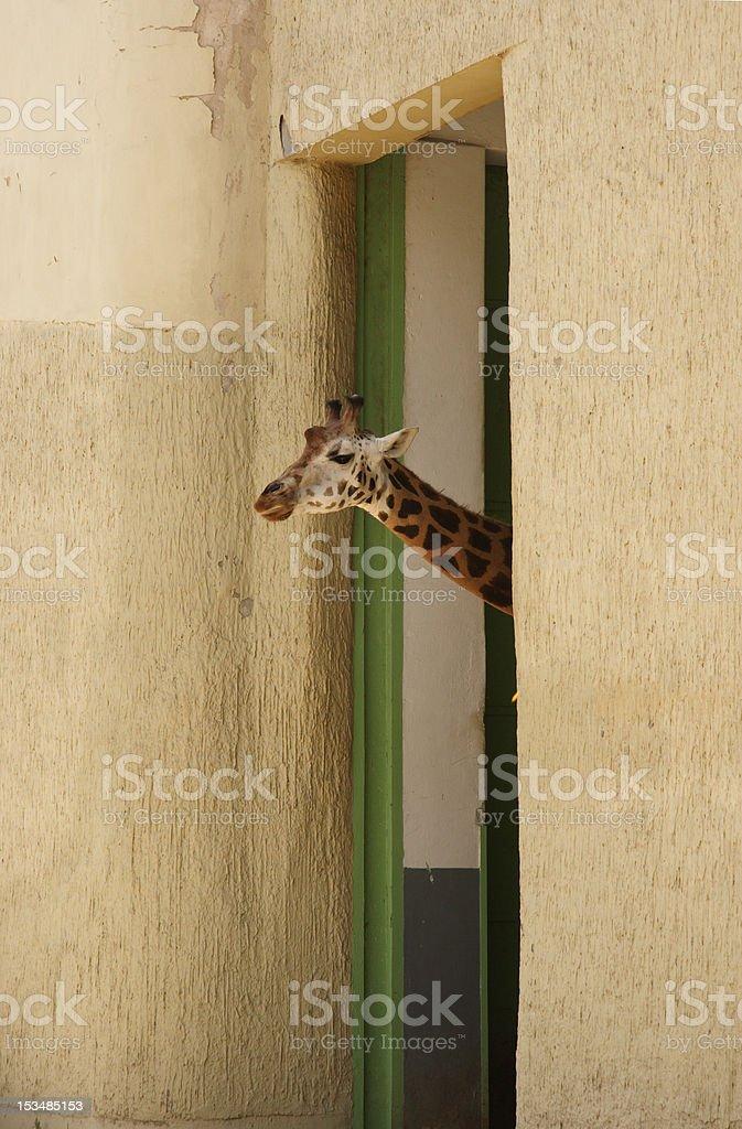 Giraffe Waking up royalty-free stock photo