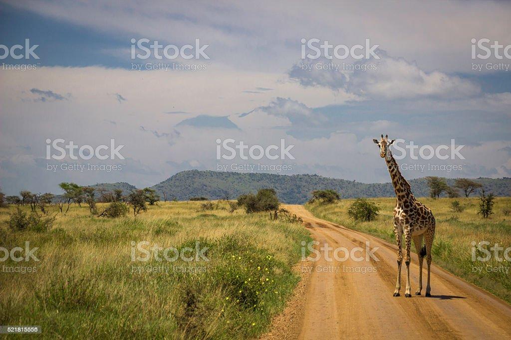 Giraffe walking down path stock photo
