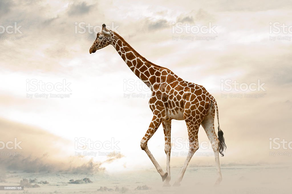 Giraffe walking in desert stock photo