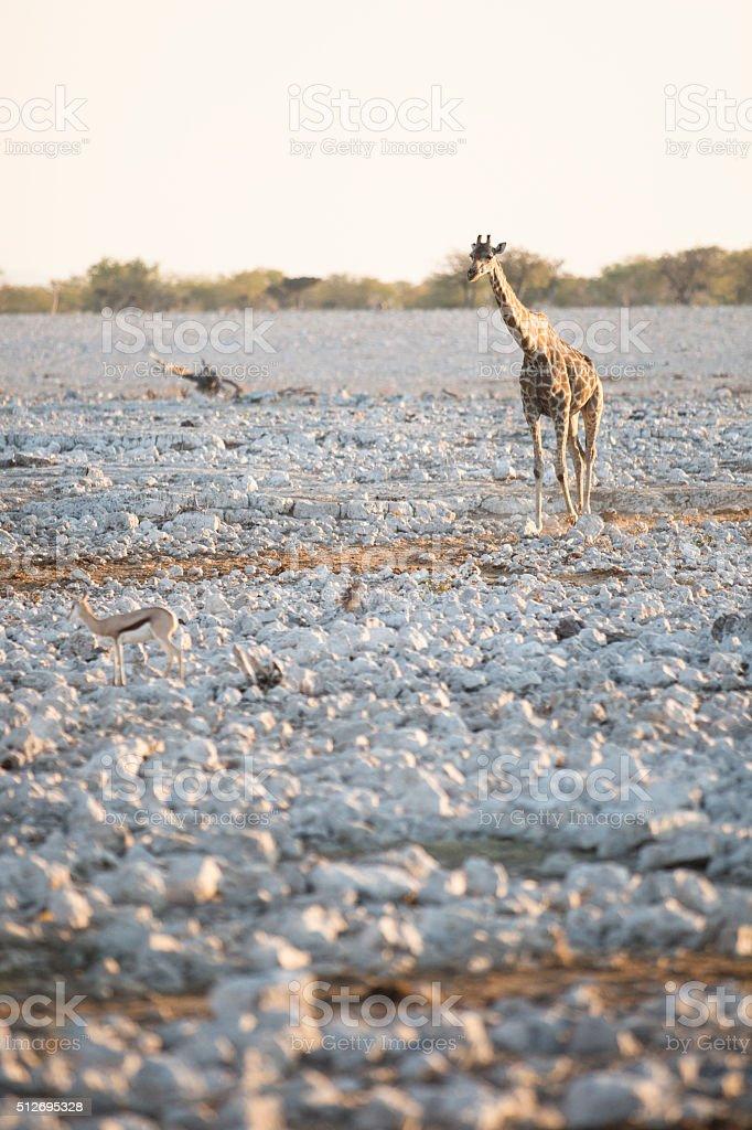 Giraffe walking towards water stock photo