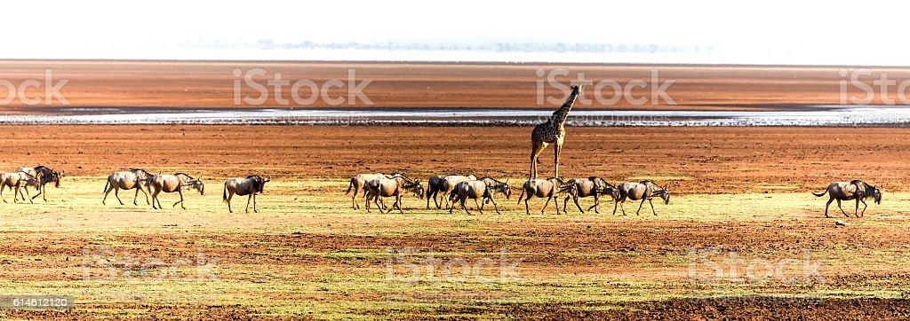 Giraffe watching wildebeests herd stock photo