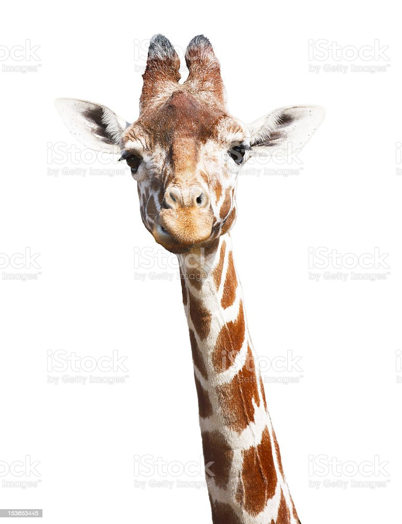 Giraffe white background stock photo