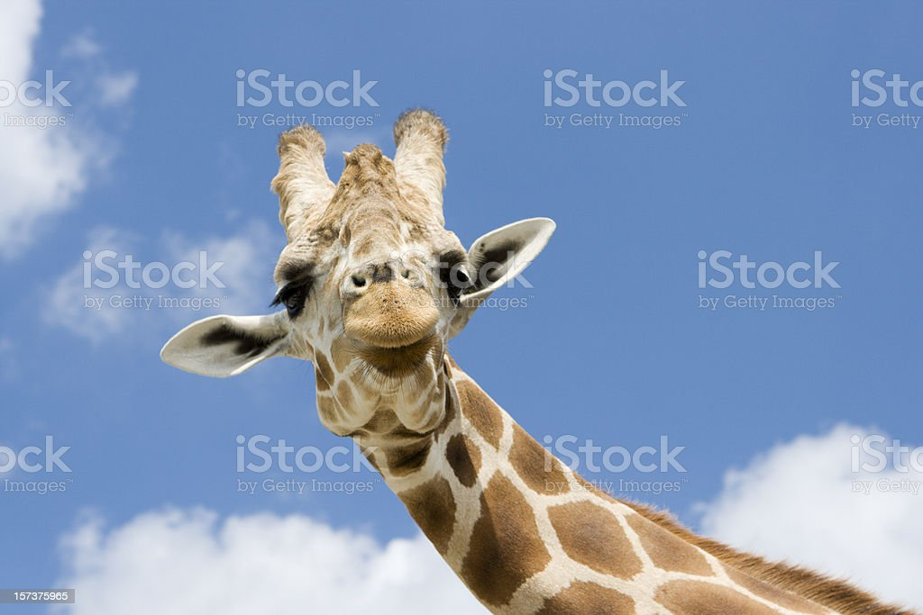 Giraffe with Funny Expression stock photo