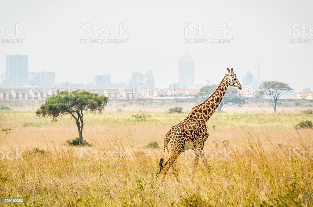 Giraffe with Nairobi Kenya in the background. stock photo