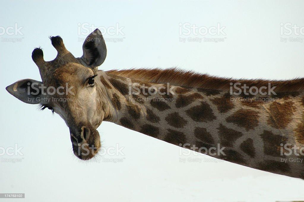 Giraffe-1 royalty-free stock photo