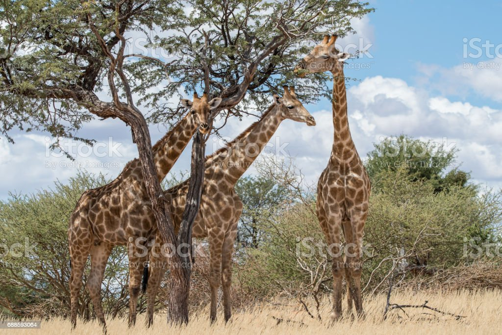 Giraffen in Afrika stock photo