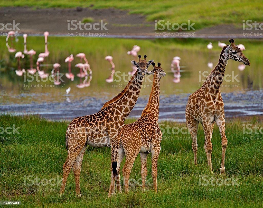 Giraffes and Flamingos stock photo