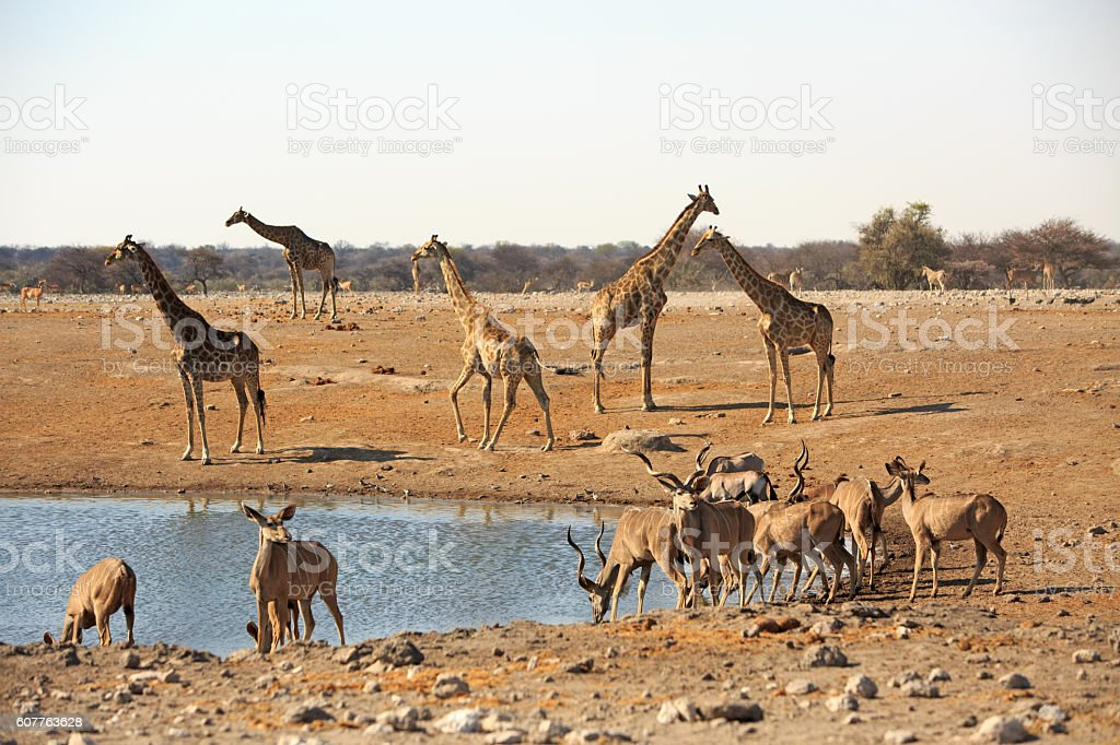 Giraffes and Kudu congregate around a waterhole stock photo