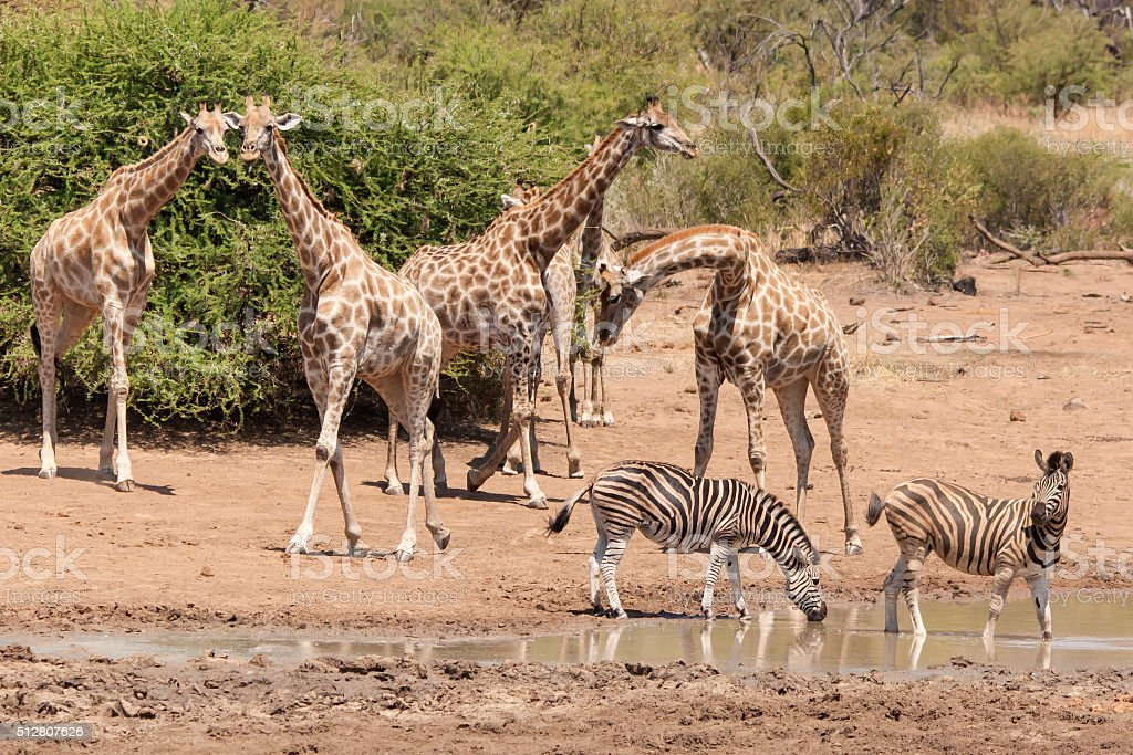 Giraffes and Zebras at a water hole stock photo