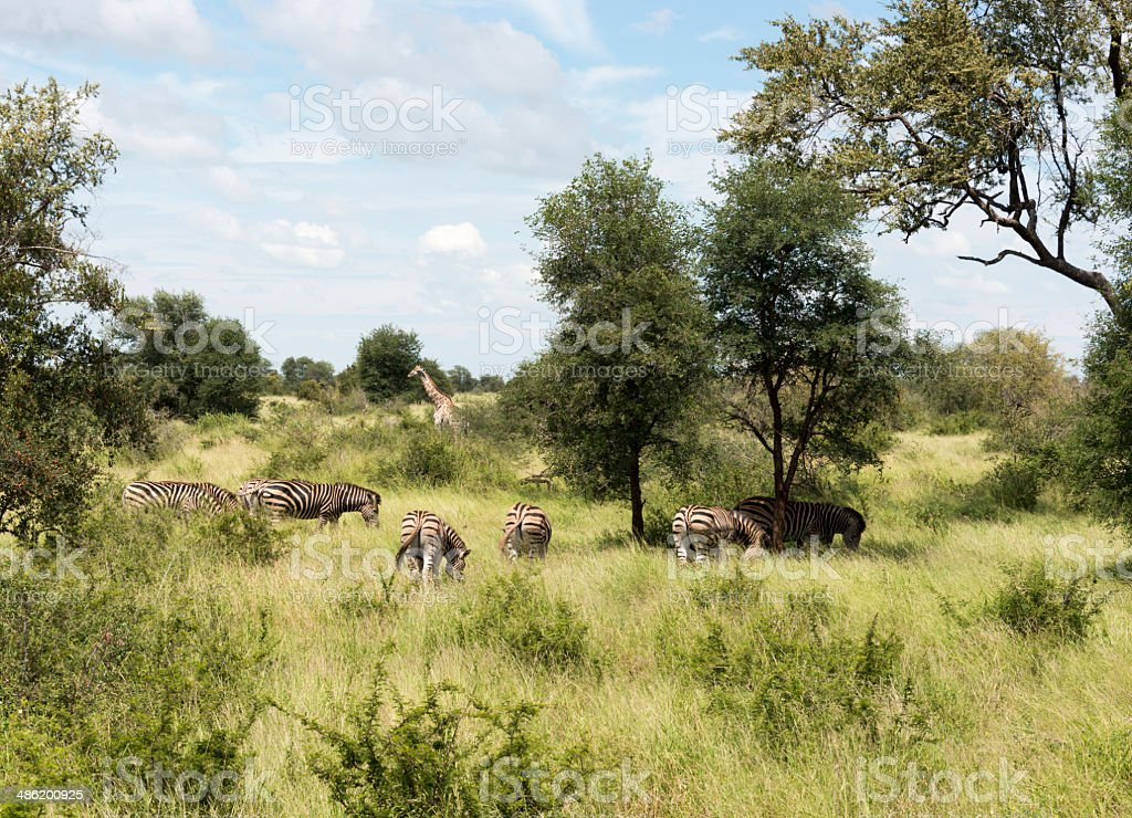 giraffes and zebras in krugerpark stock photo