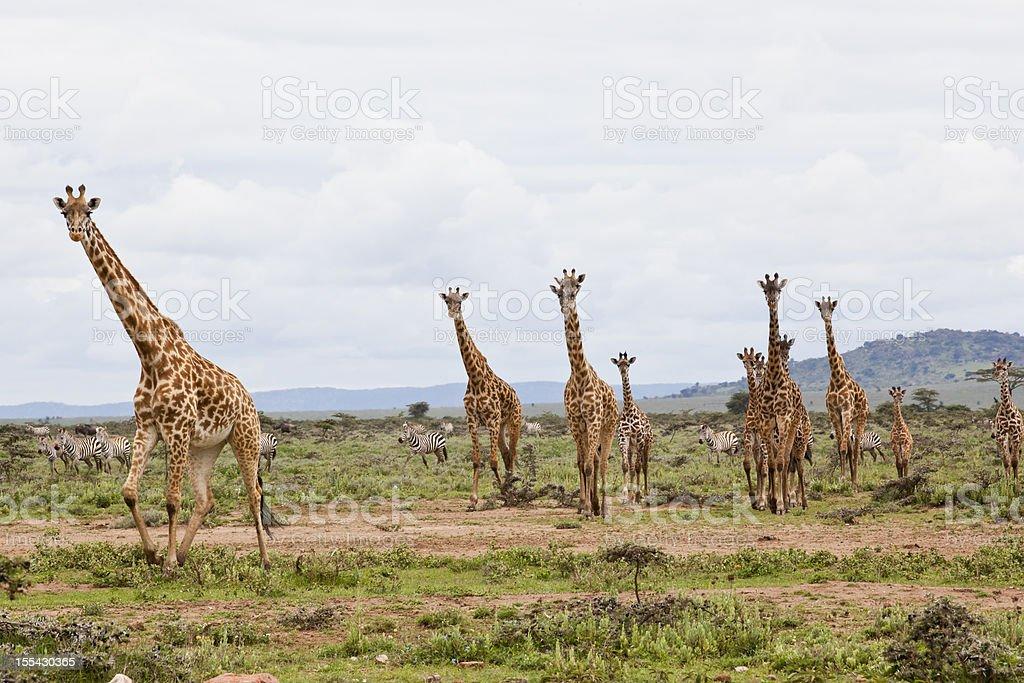 Giraffes are running stock photo