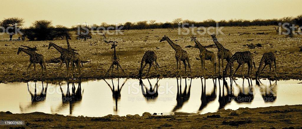Giraffes at a waterhole stock photo